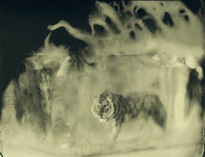 Erik Hijweege - Sumatran Tiger - Eduard Planting Gallery